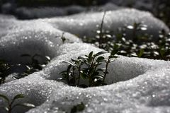 Wiosna przychodził Brusznicowy krzak wśród śniegu zdjęcie stock