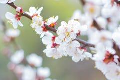 Wiosna przychodził kolor czereśniowy drzewo fotografia royalty free
