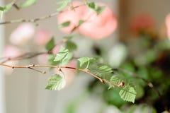 Wiosna przychodził pierwszy zieleń Natura budzi się up Rozpuszcza pierwszy liście na gałąź dzień grżą Cynaderek drzewa Obraz Stock