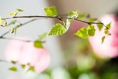 Wiosna przychodził pierwszy zieleń Natura budzi się up Rozpuszcza pierwszy liście na gałąź dzień grżą Cynaderek drzewa Zdjęcia Royalty Free