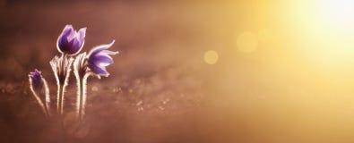 Wiosna, wiosna - purpura kwiaty zdjęcie royalty free