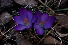 Wiosna purpurowi krokusy na ciemnym tle zdjęcie stock