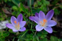 Wiosna purpurowi krokusy na zielonym tle zdjęcia royalty free