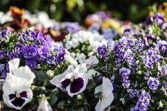 Wiosna: purpurowi pierwiosnki w selekcyjnej ostrości wśród grupy mieszani barwioni kwiaty w bokeh obrazy royalty free