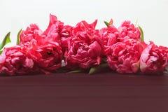 Wiosna Różowi tulipany na białym tle Szeroka panoramiczna kwiecista granica zdjęcia stock