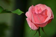 Wiosna róże Zdjęcie Royalty Free