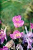Wiosna ranek kwitnący kwitnie lupines obraz royalty free