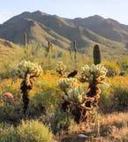 Wiosna ranku scena w Sonoran pustyni Zdjęcie Stock