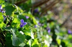 Wiosna słodcy fiołki w ogródzie Fotografia Stock