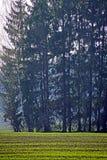 Wiosna s?oneczny dzie? fartuch Drzewa jedli Lasowy pasek wzdłuż pola zdjęcie stock