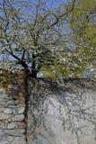 Wiosna s?oneczny dzie? fartuch Zaczyna kwiecenie Piękni cienie i biali kwiaty na gałąź fotografia royalty free