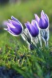 Wiosna sezon Piękna purpura kwitnie kwitnienie w słonecznym dniu Z naturalnym barwionym tłem łąka Pasque przepływ Obrazy Stock