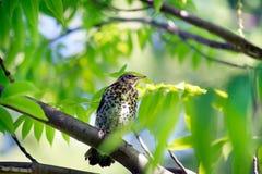 Wiosna Snowbird siedzi na gałąź Światło słoneczne iluminuje leav Zdjęcia Stock