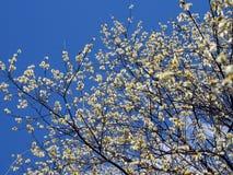 Wiosna spacer w Alloa miasteczku Fotografia Royalty Free