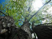 Wiosna strzelający Potrójny Dębowy drzewo Obraz Royalty Free
