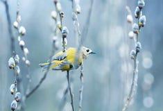 Wiosna strzyżyka mały żółty ptasi obsiadanie w gałąź wola obrazy royalty free