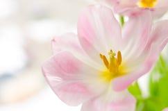 Wiosna tulipanów różowy zamknięty up pstrzący Zdjęcie Royalty Free