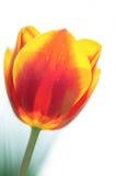 Wiosna tulipan zdjęcia stock