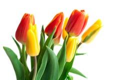 Wiosna tulipan Kwitnie nad bielem Tulipan wiązka Kwiecisty granicy Des obraz stock