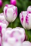 Wiosna Tulipanowy kwiat Zdjęcia Royalty Free