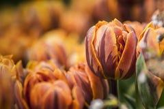 Wiosna Tulipanowy kwiat Fotografia Stock