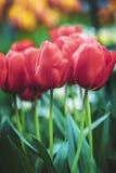 Wiosna Tulipanowy kwiat Obrazy Royalty Free