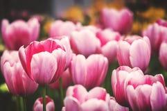 Wiosna Tulipanowy kwiat Obrazy Stock