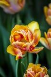 Wiosna Tulipanowy kwiat Obraz Royalty Free