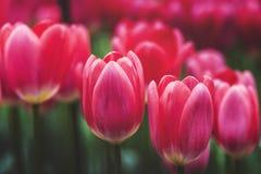 Wiosna Tulipanowy kwiat Zdjęcie Stock