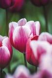 Wiosna Tulipanowy kwiat Zdjęcia Stock