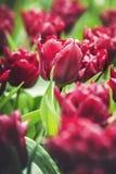 Wiosna Tulipanowy kwiat Zdjęcie Royalty Free
