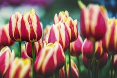 Wiosna Tulipanowy kwiat Obraz Stock