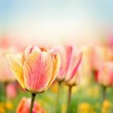 Wiosna tulipanu kwiaty Zdjęcia Stock