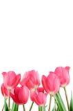 Wiosna tulipany na białym tle. Fotografia Royalty Free