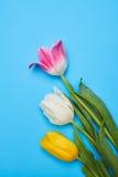 Wiosna tulipany układający na błękicie flatlay Zdjęcie Stock