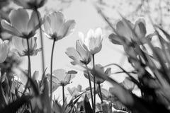 Wiosna tulipany w parku, czarny i bia?y obraz royalty free