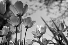 Wiosna tulipany w parku, czarny i bia?y zdjęcie stock
