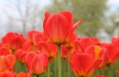 Wiosna tulipany w pełnym kwiacie Fotografia Royalty Free