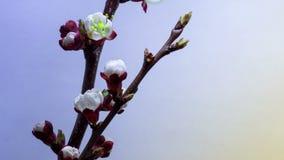 Wiosna w śliwka ogródzie