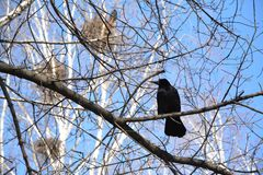 Wiosna w drzewie, gawrony Obraz Royalty Free