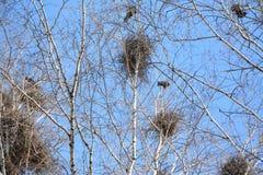 Wiosna w drzewie, gawrony Zdjęcie Stock