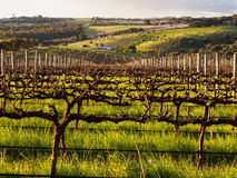 Wiosna w McLaren doliny winnicy Zdjęcie Royalty Free