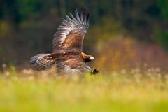 Wiosna w naturze Eagle ptasi latanie nad kwitnąca łąka Złoty Eagle, lata nad kwiatonośna łąka, brown ptak zdobycz Zdjęcia Royalty Free