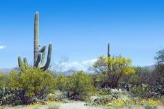Wiosna w Saguaro parku narodowym, Arizona Zdjęcie Stock