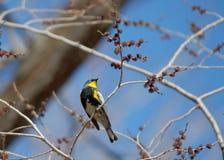 wiosna warbler Zdjęcie Royalty Free