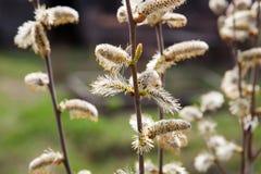 Wiosna, wierzbowe bazie kwitnąć Fotografia Stock