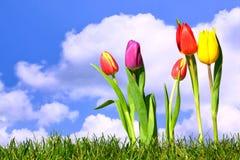 wiosna świezi tulipany Zdjęcia Royalty Free