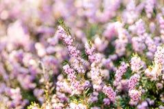 Wiosna wrzosy z miękkim ostrości bokeh Obraz Stock