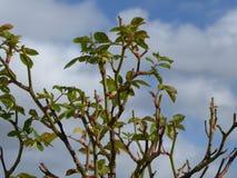 Wiosna Wzrastał pączki Zdjęcia Stock