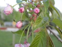 Wiosna wzrastał kwiaty w ogródzie Zdjęcie Stock
